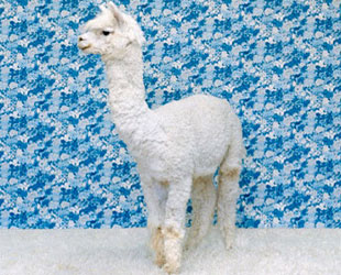 animal color print lama